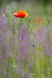 Mooie rode papaver op het groene gebied. Stock Afbeelding