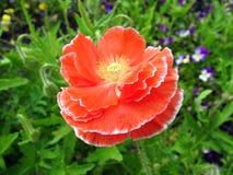 Mooie rode papaverbloem in tuin, Litouwen stock foto's