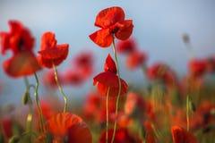 Mooie rode papaverbloemen die op gebied tegen hemelachtergrond bloeien Royalty-vrije Stock Fotografie