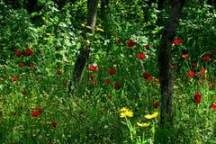 Mooie rode papavers in het hoge gras in de bosclose-up stock foto's