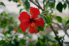Mooie, Rode Plumeria die in de Wildernis, in Hawaï bloeien Stock Fotografie