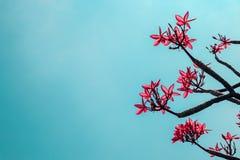Mooie rode plumeria of frangipanibloemen op blauwe hemel Royalty-vrije Stock Fotografie