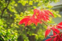 Mooie rode poinsettiabloem (Wolfsmelkpulcherrima), ook kn Royalty-vrije Stock Foto