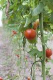 Mooie rode rijpe die erfgoedtomaten in een serre worden gekweekt Het tuinieren tomatenfoto met exemplaarruimte Ondiepe Diepte van Royalty-vrije Stock Afbeeldingen