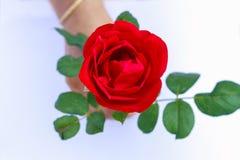 Mooie Rode Rose Isolated op Witte met de hand gehouden Achtergrond royalty-vrije stock foto