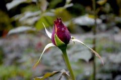 Mooie rode rosebud royalty-vrije stock fotografie