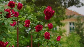 Mooie rode rozen stock footage
