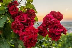 Mooie rode rozen bij zonsondergang Stock Foto