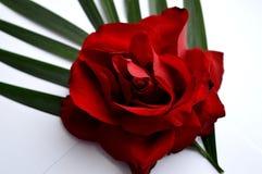 Mooie rode rozen Een combinatie van schoonheid en subtiele naturalness stock fotografie
