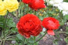 Mooie rode rozen in groep Stock Fotografie