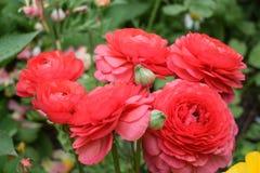 Mooie rode rozen in groep Stock Afbeeldingen