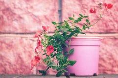 Mooie rode tuinbloemen in een pot op een roze achtergrond Het tuinieren en installatie het groeien royalty-vrije stock foto