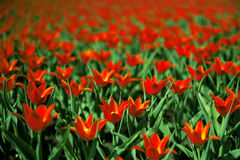 Mooie rode tulpen royalty-vrije stock foto