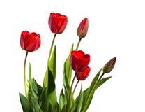 Mooie rode tulpen Bloemen achtergrond Royalty-vrije Stock Foto's