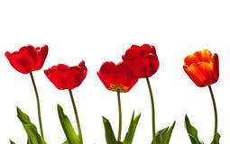 Mooie rode tulpen Bloemen achtergrond Stock Foto