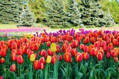 Mooie rode tulpen in botanische tuin Royalty-vrije Stock Afbeeldingen