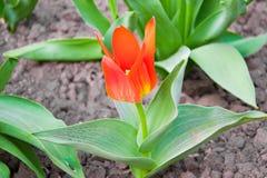 Mooie Rode Tulpen, Darwin Hybrid Red Tulips in een bloembed Royalty-vrije Stock Afbeeldingen
