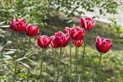 Mooie rode tulpen in de bloemen van de tuinlente royalty-vrije stock afbeeldingen