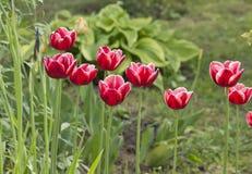 Mooie rode tulpen in de bloemen van de tuinlente royalty-vrije stock foto's