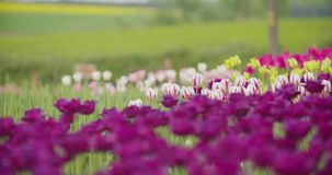 Mooie Rode Tulpen die op Gebied bloeien stock videobeelden