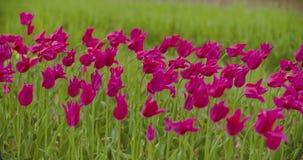 Mooie Rode Tulpen die op Gebied bloeien stock footage