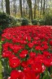 Mooie rode tulpen tegen een achtergrond van groene struiken en bomen stock foto's