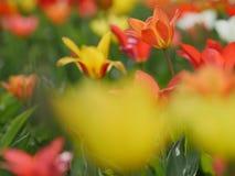 Mooie rode tulpen in tuin Stock Foto