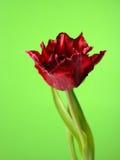 Mooie rode tulpenbloem over groene achtergrond Stock Afbeeldingen
