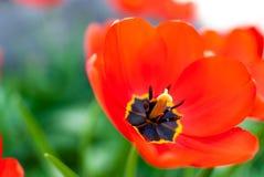 Mooie rode tulpenclose-up Stock Afbeeldingen