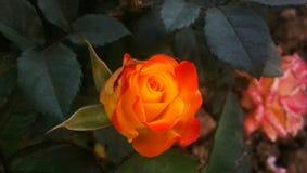 Mooie rood-Geel nam toe royalty-vrije stock afbeelding