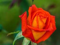 Mooie rood nam bloem toe Royalty-vrije Stock Afbeeldingen