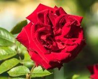 Mooie rood nam bloem toe Royalty-vrije Stock Foto