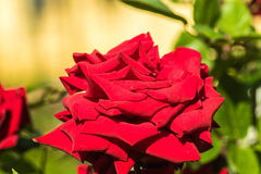 Mooie rood nam bloem toe Stock Fotografie