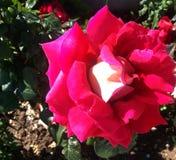 Mooie rood nam in de tuin toe royalty-vrije stock foto