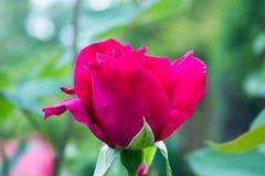 Mooie rood nam in de tuin toe Stock Foto's