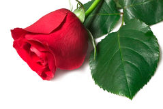 Mooie rood nam op een witte achtergrond toe royalty-vrije stock afbeeldingen