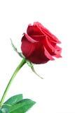 Mooie rood nam op witte close-up toe als achtergrond isoleer Stock Afbeelding