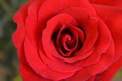 Mooie Rood nam toe Royalty-vrije Stock Foto's