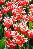 Mooie rood-witte tulpen (close-up) Stock Afbeeldingen