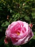 Mooie Rose Macro Stock Afbeelding