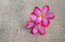 Mooie roze adeniumobesum Stock Foto