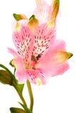 Mooie roze alstroemeria stock foto's