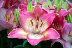 Mooie Roze Aziatische Lelie Stock Foto's
