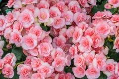 Mooie roze Begonia Royalty-vrije Stock Afbeeldingen