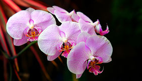 Mooie roze bevlekte orchideeën royalty-vrije stock afbeelding