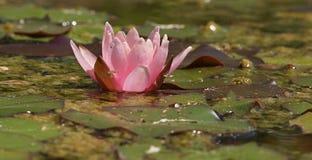 Mooie Roze Bloeiende lotusbloembloem stock foto's