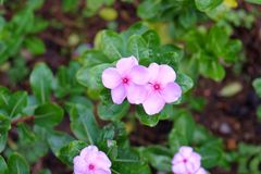 Mooie Roze bloem Stock Fotografie