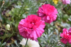 Mooie Roze bloem Stock Afbeeldingen
