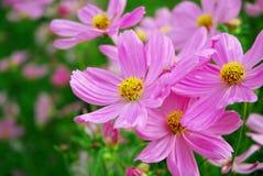 Mooie roze Bloem dicht omhoog en boomachtergrond die bloeien Royalty-vrije Stock Foto