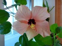 Mooie roze bloem op de achtergrond van groene grote bladeren stock afbeeldingen
